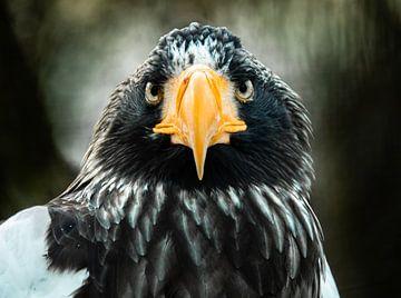 Riesenseeadler von Jeroen Mikkers