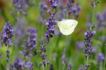 Witte vlinder tussen de lavendel van Marieke Luider