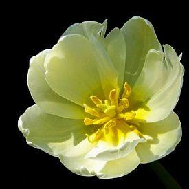 Mellow Yellow (Gele Tulp) van Caroline Lichthart