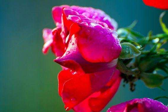 Roos van Nina Seegers