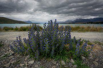Lake Tekapo, Neuseeland - 8. Januar 2020 : Wildblumen am Rande des Lake Tekapo von Anges van der Logt