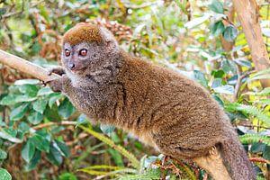 Grijze Bamboemaki in Madagaskar
