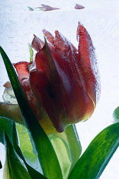 Viking-Tulpe in kristallklarem Eis 1 von Marc Heiligenstein