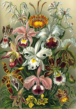 Orchidea (Orchideen), Ernst Haeckel