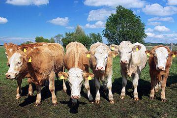 Sechs Kühe gucken zur Kamera
