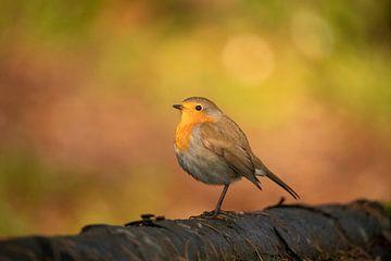 Robin, Erithacus rubecula aux couleurs automnales. sur Gert Hilbink