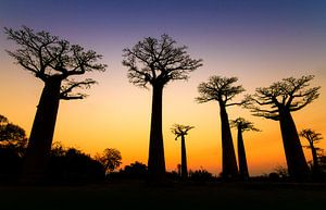 Apenbroodbomen silhouette