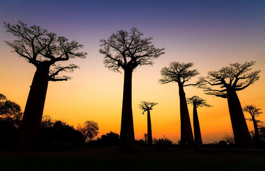 Apenbroodbomen silhouette  van Dennis van de Water