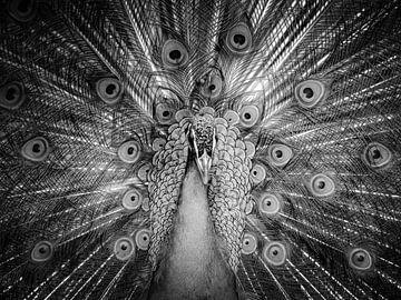 Peacock van Marieke Bakker
