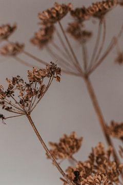 Getrockneter Bärenklau. Kunstfotografie. Launischer Stil. von Quinten van Ooijen