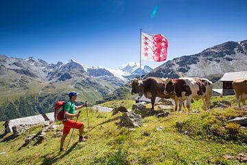 Ein Wanderer mit Bergkühe in Wallis von Menno Boermans