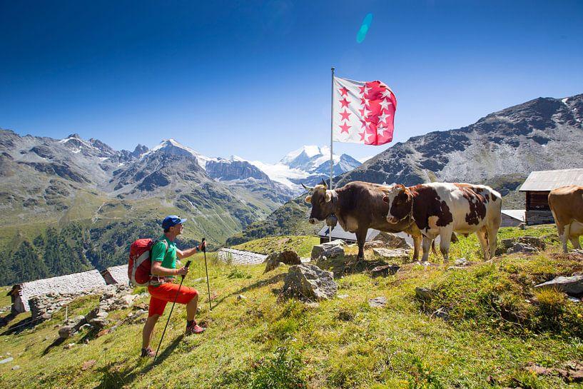 Een bergwandelaar oog in oog met koeien in Wallis van Menno Boermans