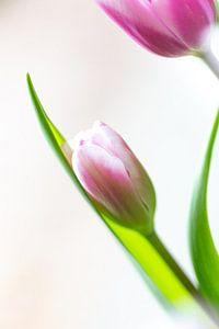 Tulpe von Willy Sybesma