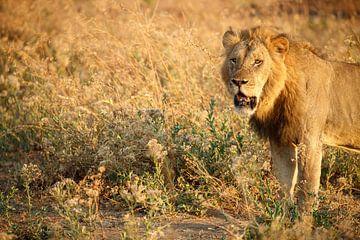 Leeuw, Mana Pools National Park, Zimbabwe van Marco Kost