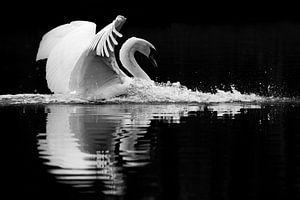 Zachte landing - zwaan in zwart-wit van Latifa - Natuurfotografie