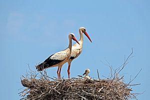 Störche mit Jungtieren im Nest