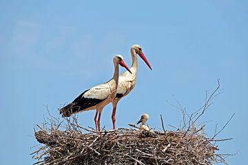 Ooievaars met jong op hun nest van Nisangha Masselink