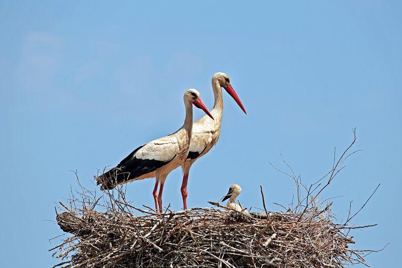 Störche mit Jungtieren im Nest von Nisangha Masselink