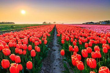 Tulpenveld zonsondergang van Dennis van de Water