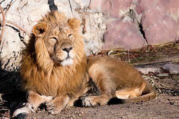 herumliegen und herablassend schauen. Ein mächtiges Löwenmännchen mit einer schicken, von der Sonne  von Michael Semenov