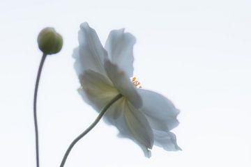 witte aster in de lucht van Tania Perneel