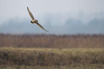 Velduil in de vlucht  Short eared owl flight van Ronald Groenendijk