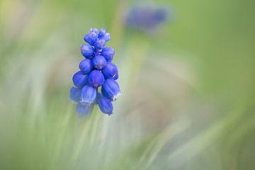 Blauw druifje van