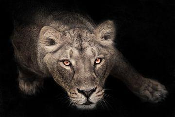 une lionne de bas en haut, les yeux langoureux brun-ébène regardent fixement le spectateur, Fond noi sur Michael Semenov