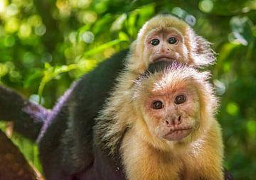 Kapuzineräffchen in Costa Rica von Corno van den Berg