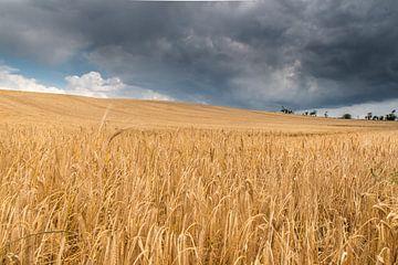 korenveld met dreigende lucht van