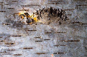 Fire birch van Hans Wijnveen