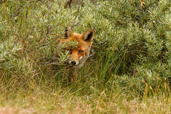 Rode vos schuilt achter de struiken