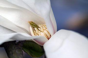 Magnolia 4 von José Verstegen