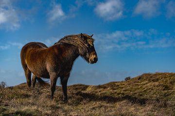 Exmoor pony round room texel sur Texel360Fotografie Richard Heerschap