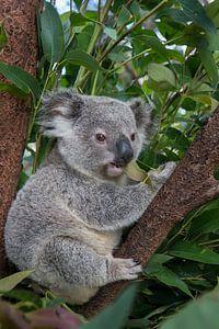 Koala (Phascolarctos cinereus) jong van 11 maanden zittend in een boom, Australië