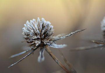 Distel mit einer Schicht Frost im Winter von Willeke Bijker