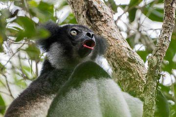 Der singende Indri Indri. von Tim Link