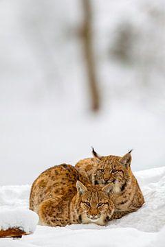 Luchse (Lynx lynx) im Winter