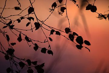 Takken van berk in het avondlicht, met tegenlicht. van BYLDWURK BYLDWURK
