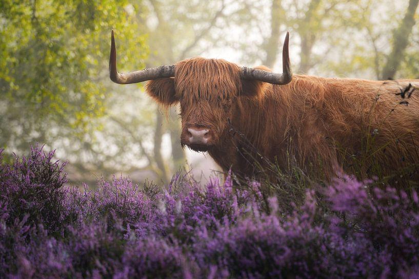 Schotse Hooglander met Paarse Heide van Albert Dros