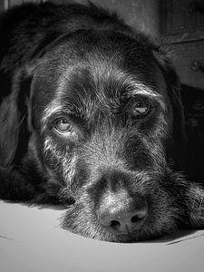 Oude zwarte labrador