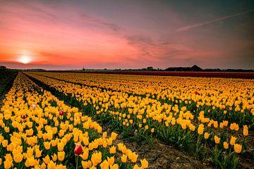Geel tulpenveld van Peter Heins