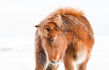 Isländisches Fohlen im Schnee von Vera van Praag Sigaar
