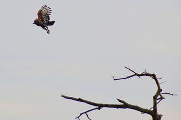 Roofvogel in actie vanaf een boomtak, Kruger park, Zuid Afrika van Vera Boels