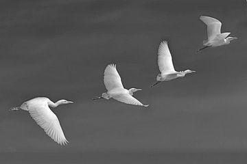 Koereiger in volle vlucht in zwart wit van Harrie Muis