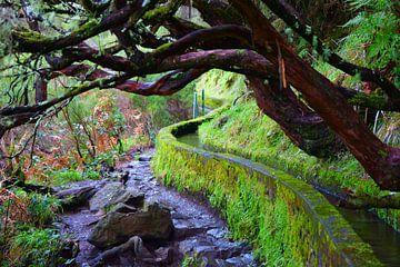 Levada met kromme bomen in Madeira van