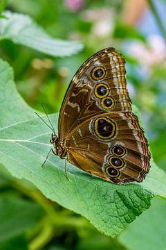 Vlinder met ogen van Joost Potma