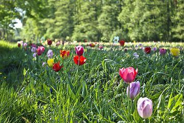 Tulpenveld van Norbert Sülzner