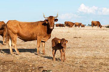Cows in alentejo field van Compuinfoto .