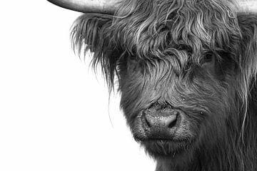 Schotse Hoogland Runderen van Peter Roder